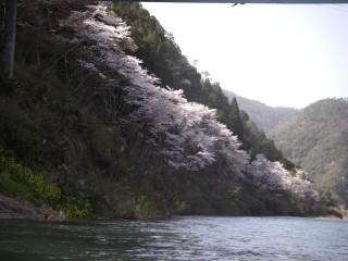 南桑の桜並木