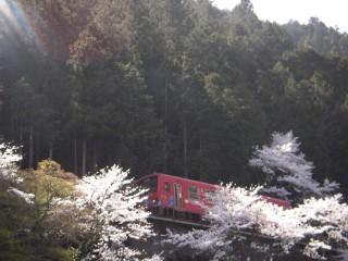 お馴染み桜と清流線