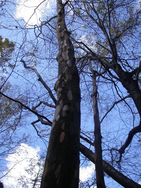 マーブル模様の木