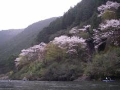 南桑の桜は満開!