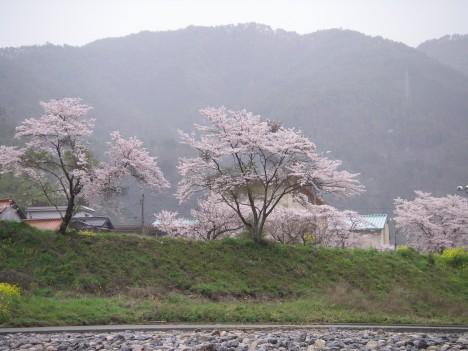 小学校前の桜も