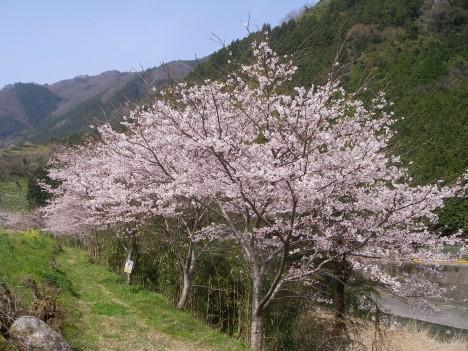宇佐川の桜