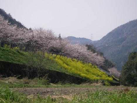 とことこトレイン沿いの桜